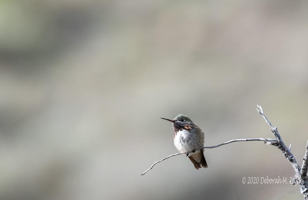 Caliope Hummingbird Male