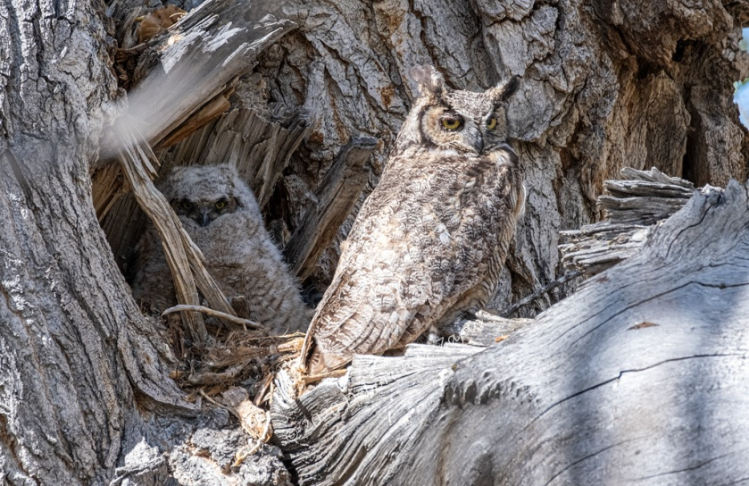 Great horned Owl and Owlet