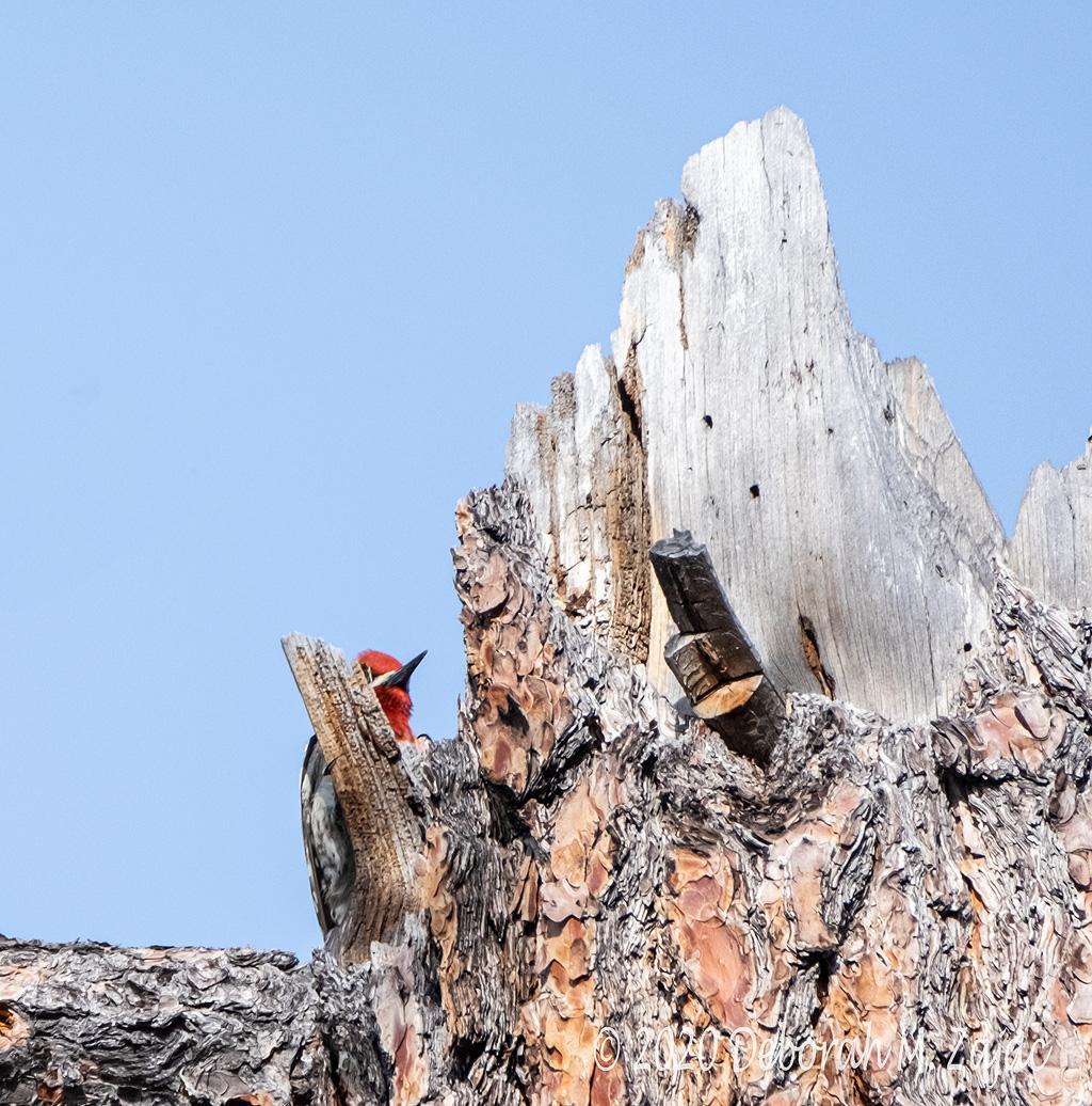 Red-headed Woodpecker Male