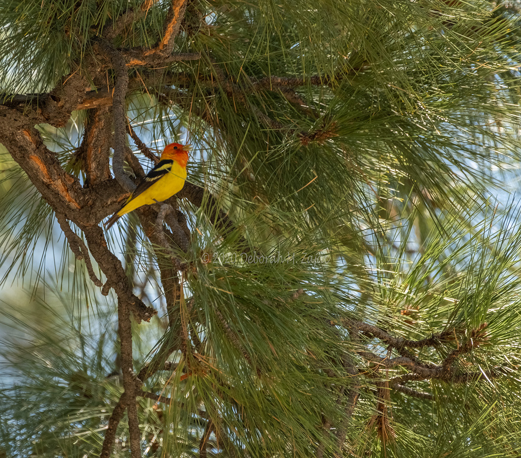 Western Tanager Male
