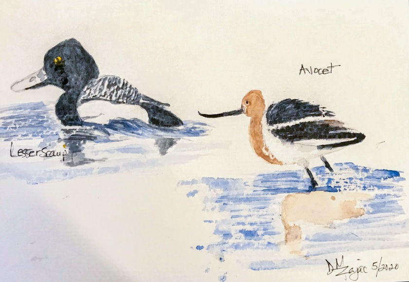 Lesser Scaup and Avocet watercolor
