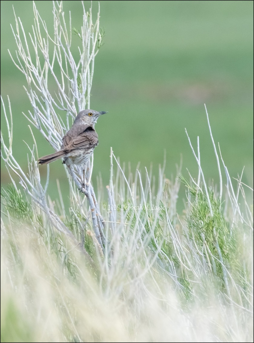 Sage Thrasher_DMZ8319