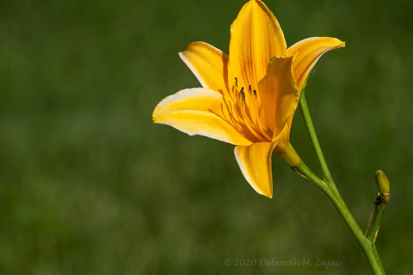 Yellow Orange Day Lily