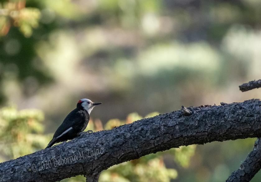 White-headed Woodpecker Male