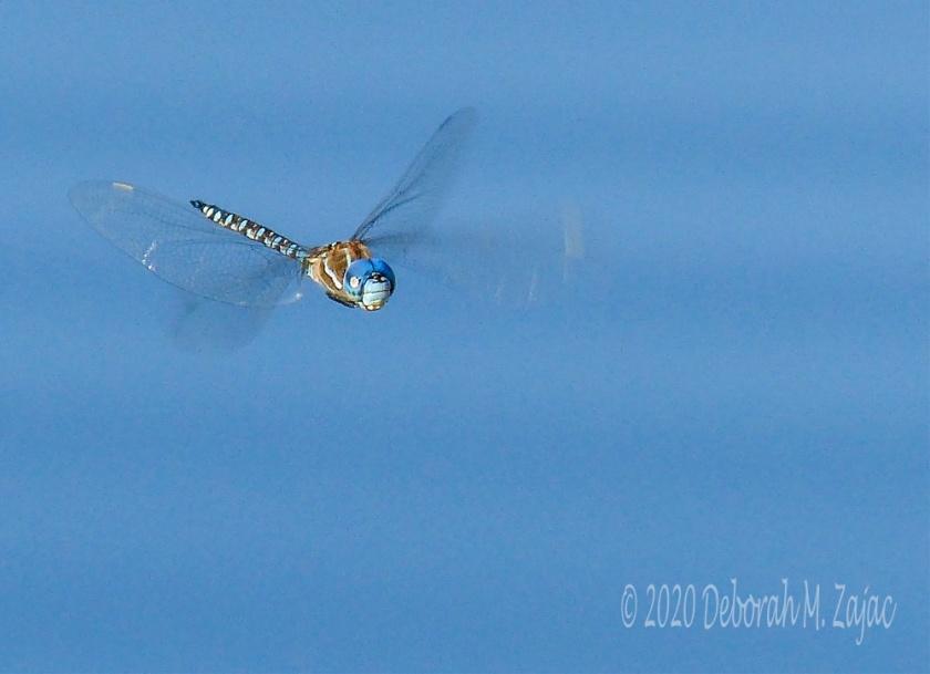 Blue-eyed Darner Dragonfly